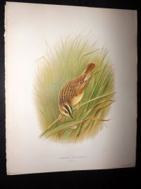 Butler, Frohawk & Gronvold 1908 Antique Bird Print. Aquatic Warbler 31